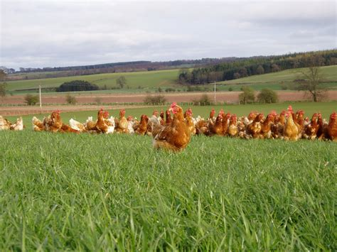 chicken farm the gallery for gt organic chicken farms