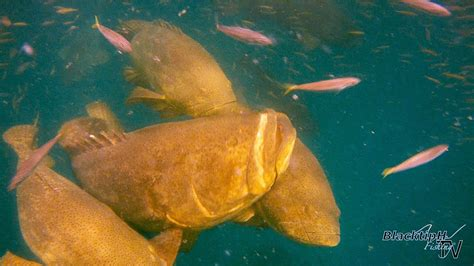 grouper goliath fishing