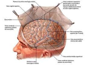 Spermatozoïdes Durée De Vie by Meninges E Liquor Sistema Nervoso Neuroanatomia Aula