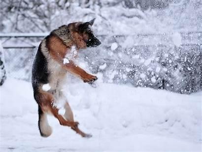 German Shepherd Dogs Snow Wallpapers Dog Tablet