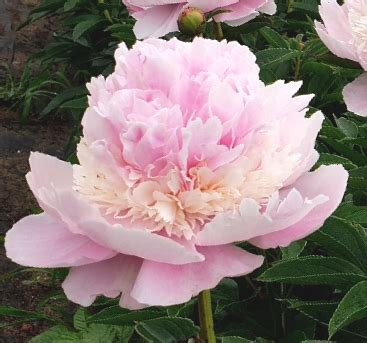Peonija pienziedu Angel Cheeks /Paeonia lactiflora/ - Peonijas - Katalogs - stadi-sakstagals.lv