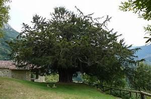 El tejo, árbol milenario