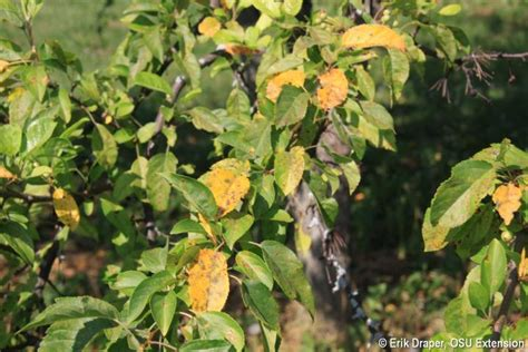 Apple Scab, Rust and Frog-eye Leaf Spot- Which is What? | BYGL