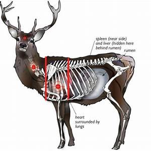 Axis Deer Vitals Diagram