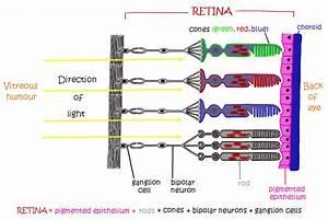 Eyes Diagram Rods Cines : perception of stimuli ~ A.2002-acura-tl-radio.info Haus und Dekorationen