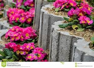 Primula flower bed stock image. Image of leaf, herb ...