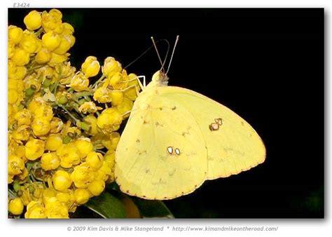 phoebis sennae marcellina  adults page