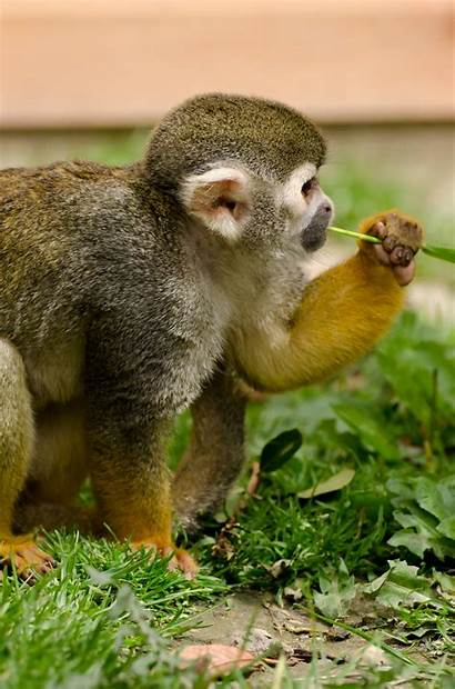 Monkey Squirrel Rainforest Yellow Tiny Ears Snout