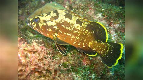 rockcod yellowbelly marginatus epinephelus dusky grouper wirtz von peter foto
