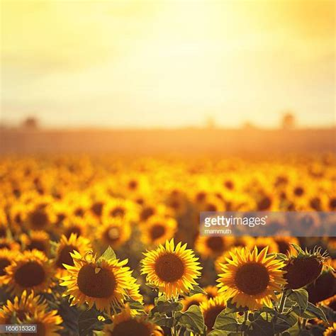 Pictures Images Sunflower Stock Photos And Pictures Getty Images