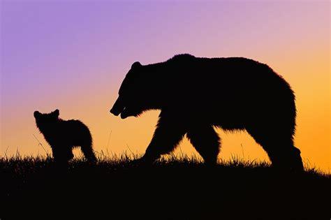Bear W. Cub Silhouette