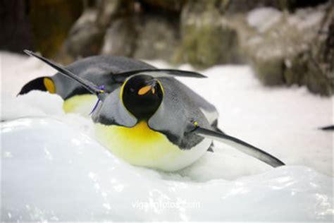 einheimische vögel bilder fotos pinguine v 195 gel nordpol south kanaren loro park loro park tenerife kanaren