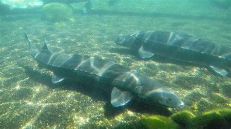 Wels Catfish For Sale Aquarium