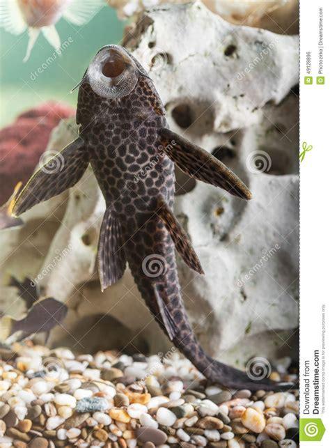 poisson chat d aquarium plan rapproch 233 de poisson chat d aquarium photo stock image 49128896
