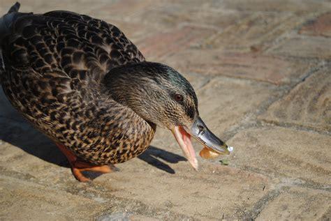what do mallard ducks eat the gallery for gt mallard duckling eating