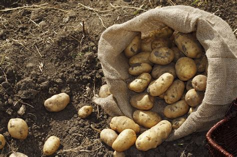 what are seed potatoes how to grow your own potatoes carpenters nursery