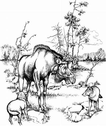 Moose Coloring Pages Forest Animals Drawing Habitat