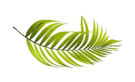 image  pixabay palm leaf green botany
