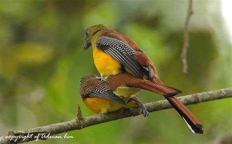 orange breasted trogon mating bird ecology study group