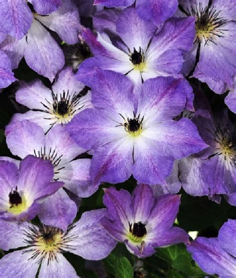 chelsea flower show     plant varieties