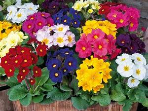 How To Grow And Care For Polyanthus