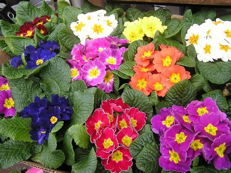 growing flowers indoors the primrose houseplant how to grow primrose indoors