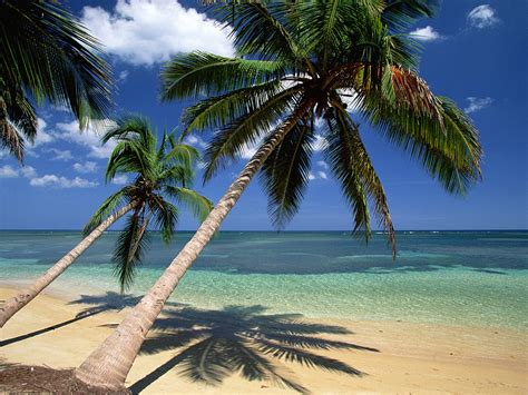 Coconut Palm Tree Pictures And Facts On Coconut Palm Trees