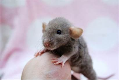 Rats Dumbo Rat Pet Rex Animals Mice