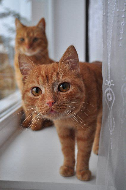Two Ginger Tabby Cats