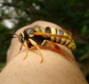 Why Do Aggressive Wasps Always Bother People