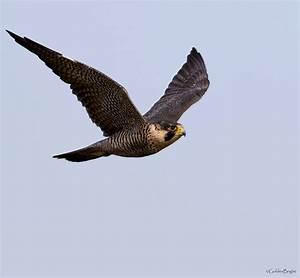 See What I See: Peregrine Falcon  Falcon