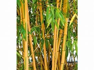 Bambus In Kübeln : pflanzen winterhart sonstige preisvergleiche ~ Michelbontemps.com Haus und Dekorationen