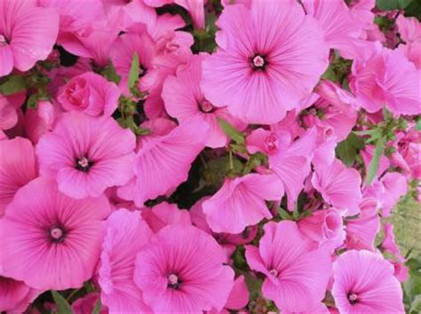 callisia bloemen lavatera trimestris grootbloemige lavatera of bekermalva