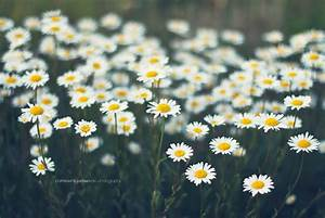 Summer daisies | Thank you for passing by & do feel free ...