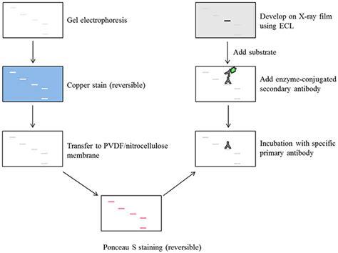 Introduction to Western Blotting | Sigma-Aldrich