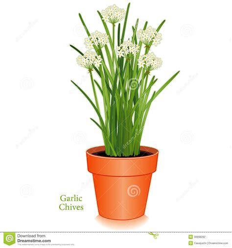 fleurs de ciboulette en cuisine ciboulette d 39 ail pot de fleur d 39 argile photographie stock