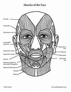 Muscles Of Facial Expression And Mastication  Chewing