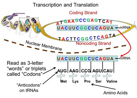 Where Does Transcription Occur In The Cell