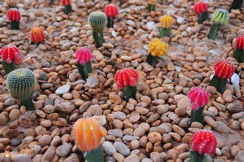 แคคตัส: การปลูกเลี้ยงแคคตัส ( Cactus )