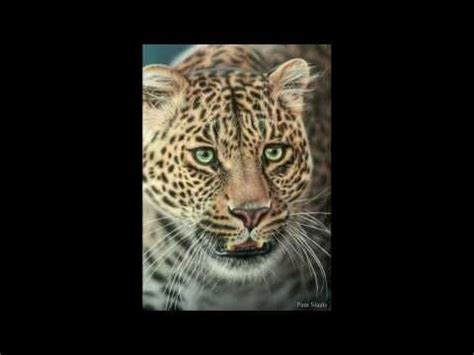 leopard drawing time lapse video  pastel pencil leopard