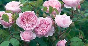 Rose Mein Schöner Garten : bodenm digkeit wenn rosen nicht wachsen mein sch ner garten ~ Lizthompson.info Haus und Dekorationen