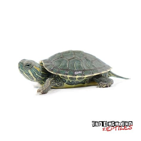 ear turtle baby red eared slider turtles for sale underground reptiles
