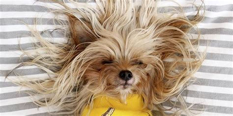 teacup yorkie shedding do yorkies shed the answer might you the
