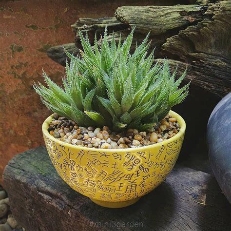 #bolusii #mini3garden #Cactusway #succulents #cactus # ...