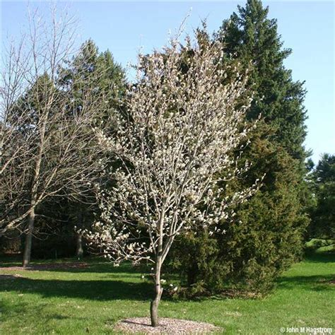 Buy affordable Downy Serviceberry trees at our online nursery