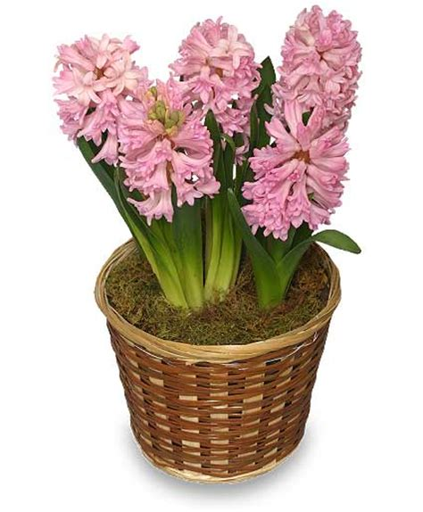 potted hyacinth 6 inch blooming plant in adrian mi