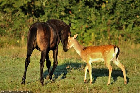 horse deer foal young each playing fawn harlow adoptive essex spend morning bay field play