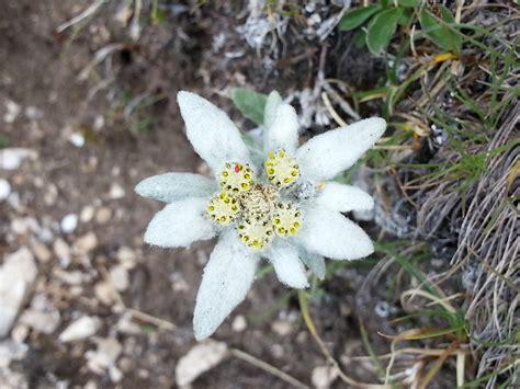 edelweiss fiore alpino foto gratis stella alpina fiore gnafalio immagine