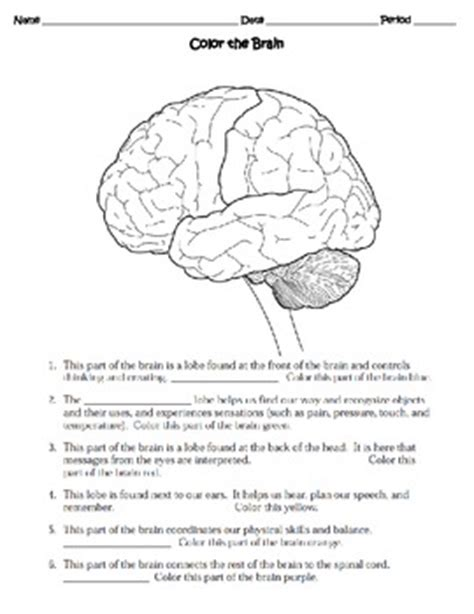 human the nervous system worksheet by sweet d