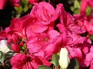 Japanische Pflanzen Winterhart : japanische azalee 39 purpurkissen 39 s rhododendron ~ Michelbontemps.com Haus und Dekorationen